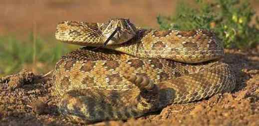 Rattlesnakes In Colorado Map.Staying Safe In Colorado S Rattlesnake Country Life S 2 Short Fitness